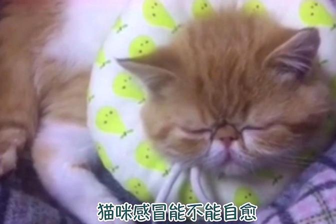 猫感冒能自愈吗,养猫经验分享