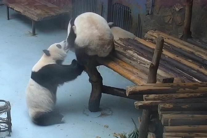 熊猫妮可把妹妹妮娜从架子上扯了下来:凭什么你住楼上我住楼下