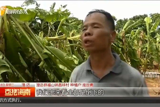 上百亩香蕉树被风刮倒 保险:风力达8级才理赔