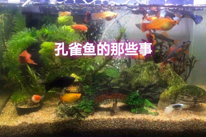 孔雀鱼拉黑屎为何却不见下小鱼?是鱼粮引起的,余月分享如何辨别