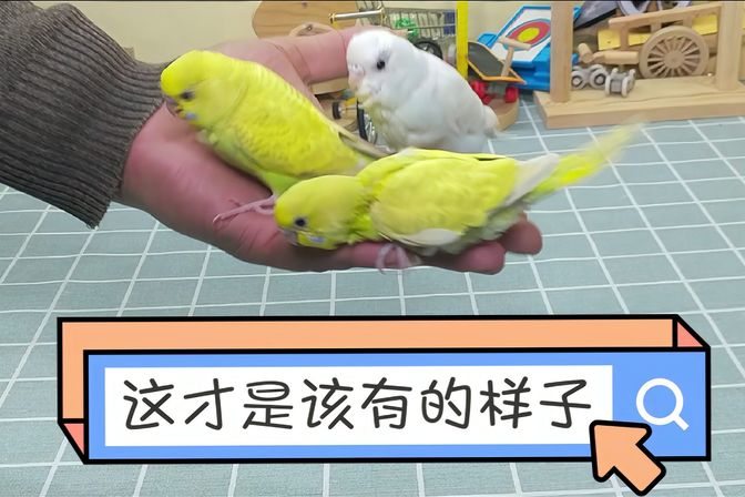 [手养三]鹦鹉雏鸟断奶前应该做哪些准备?才会让断奶变得轻而易举